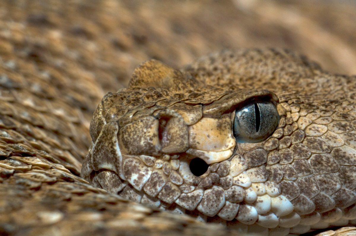 serpiente-de-cascabel-venenosa